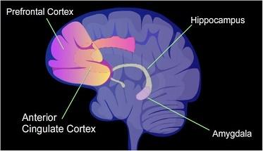 Расположение префронтальной коры, передней поясной коры (anterior cingulate cortex), гиппокампа и амигдалы. (Иллюстрация NIH Image Gallery / Flickr.com.)