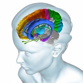 Кора полушарий и подкорковые структуры мозга человека; амигдала выделена розовым, гиппокамп – фиолетовым, поясная кора – синим. (Иллюстрация Fernando Da Cunha / BSIP / Corbis.)